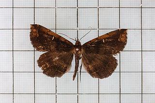 <i>Hadennia</i> Genus of moths
