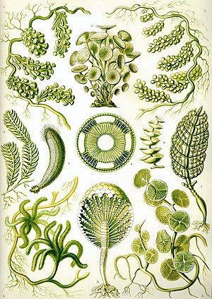 """Siphoneae"" from Ernst Haeckel's Kun..."