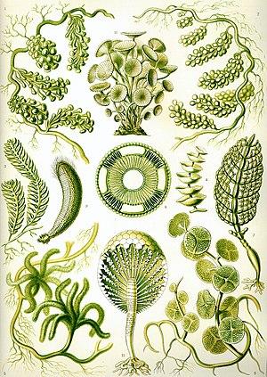 Plant - Green algae from Ernst Haeckel's Kunstformen der Natur, 1904.