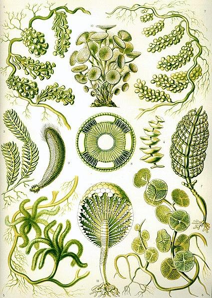 Resim:Haeckel Siphoneae.jpg