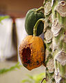 Half eaten papaya.jpg