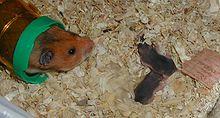 Hamster - Wikipedia