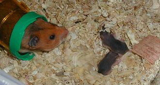 Golden hamster - A mother with her two young, which are less than a week old