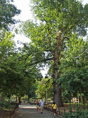 Washington Square Park - Hangman's Elm