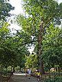 Hangman's Elm by David Shankbone.jpg