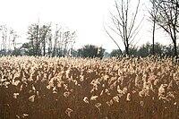 Harchies (Belgique), roselière situées à l'ouest de la digue d'Harchies.jpg
