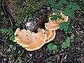 Harderbos - Zwavelzwam (Laetiporus sulphureus).jpg