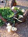 Harrisinopsis jusbertii (3582454288).jpg