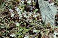 Hautes-Alpes Vieux Chaillol Fleurs 081990 - panoramio (2).jpg