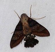 Hawkmoth (Aellopos ceculus) (38573379530).jpg