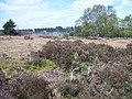 Heather, Cannock Chase - geograph.org.uk - 406136.jpg