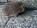 Hedgehog Gnesta 02.jpg