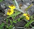 Helenium flexuosum Tennessee.jpg