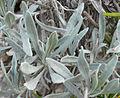Heliantemum syriacum fulles.jpg