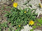 Helianthella castanea 1.jpg