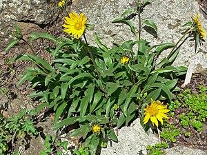 Helianthella castanea - Image: Helianthella castanea 1