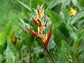 Heliconia psittacorum (753479962).jpg