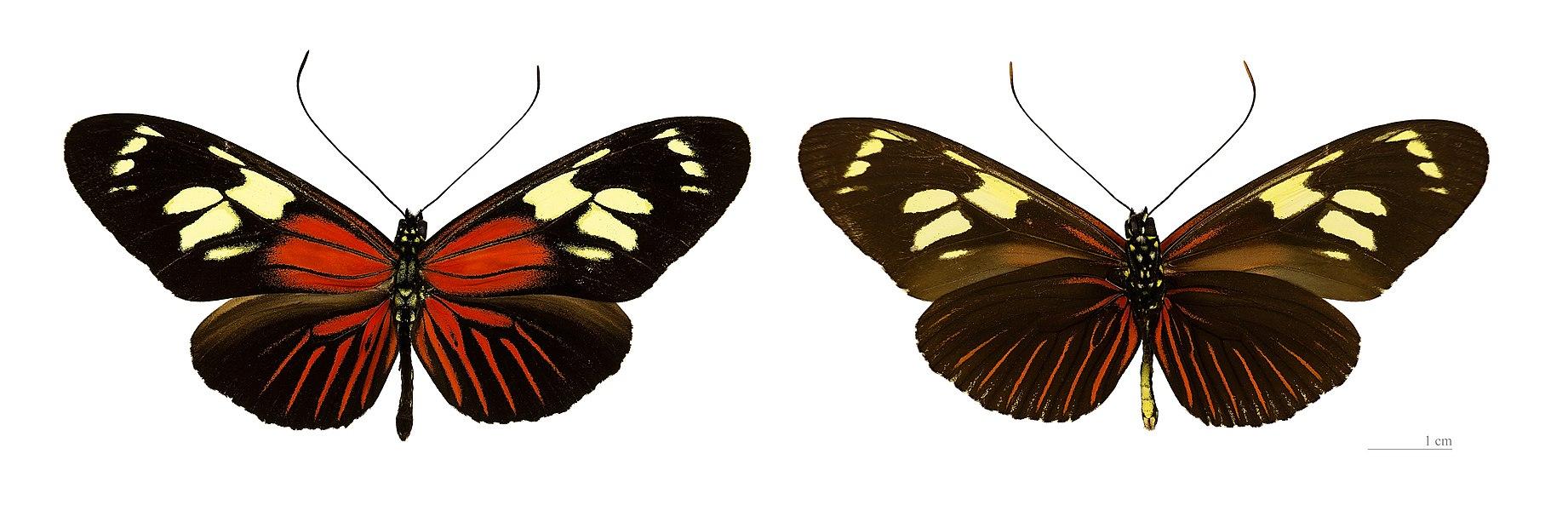 English:  Heliconius burneyi catharinae - Two views of same specimen