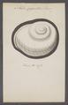 Helix gigantea - - Print - Iconographia Zoologica - Special Collections University of Amsterdam - UBAINV0274 089 01 0005.tif