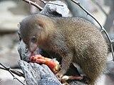 Helogale-parvula-dwarf-mongoose-0a.jpg