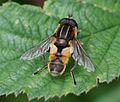 Helophilus.hybridus1.jpg