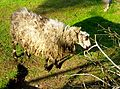 Helsinge sheep.JPG