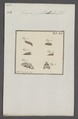 Hercyna - Print - Iconographia Zoologica - Special Collections University of Amsterdam - UBAINV0274 061 03 0002.tif