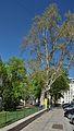 Hermann-Gmeiner-Park, Platanus.jpg