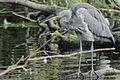 Heron Bushy Park 01.JPG