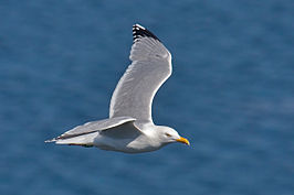 Herring Gull in flight.jpg