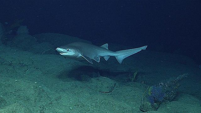 Sixgill Shark 640px-Hexanchus_griseus_santa_rosa