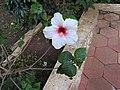 Hibiscus rosa sinensis hybrid-23-hanuman temple-muluvi-yercaud-salem-India.jpg