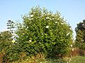 Hibiscus syriacus sl1.jpg