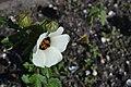 Hibiscus trionum L. 1.jpg
