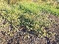 Hibiscus trionum sl38.jpg