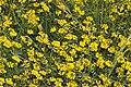 Hippocrepis comosa pelouse-chezy-sur-marne 02 12052007 1.jpg