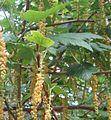Hojas e inflorescencia de Ribes magellanicum.jpg