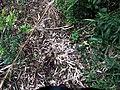 Hojas secas de quila - Chusquea quila.jpg
