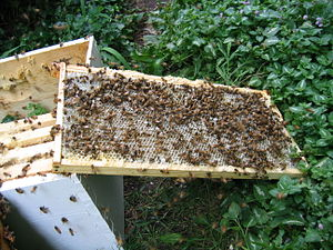 Honey bees cleaning the last of the honey off ...