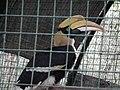 Horn bill or Bucerotidae from Bannerghatta National Park 8617.JPG