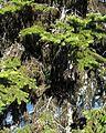Horsehair Lichen - Flickr - pellaea.jpg