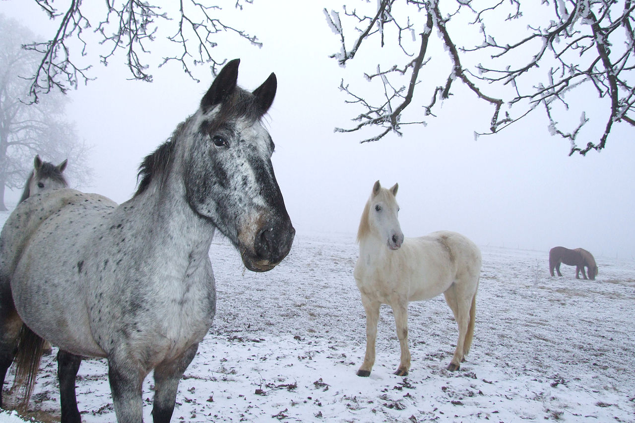 File Horses In Winter Jpg Wikimedia Commons