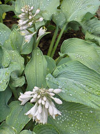 Hosta - Hosta Bressingham Blue, a Hosta cultivar