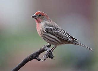 American rosefinch - Image: House Finch (32847677535)