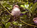 House Sparrow - Passer domesticus.jpg