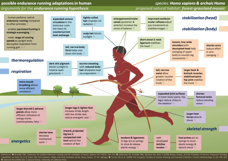 File:Human Running Adaptations.png