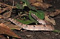 Hump-nosed Pit Viper Hypnale hypnale by Dr. Raju Kasambe DSCN0942 (29).jpg