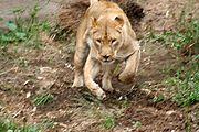 Nejčastěji loví lvice