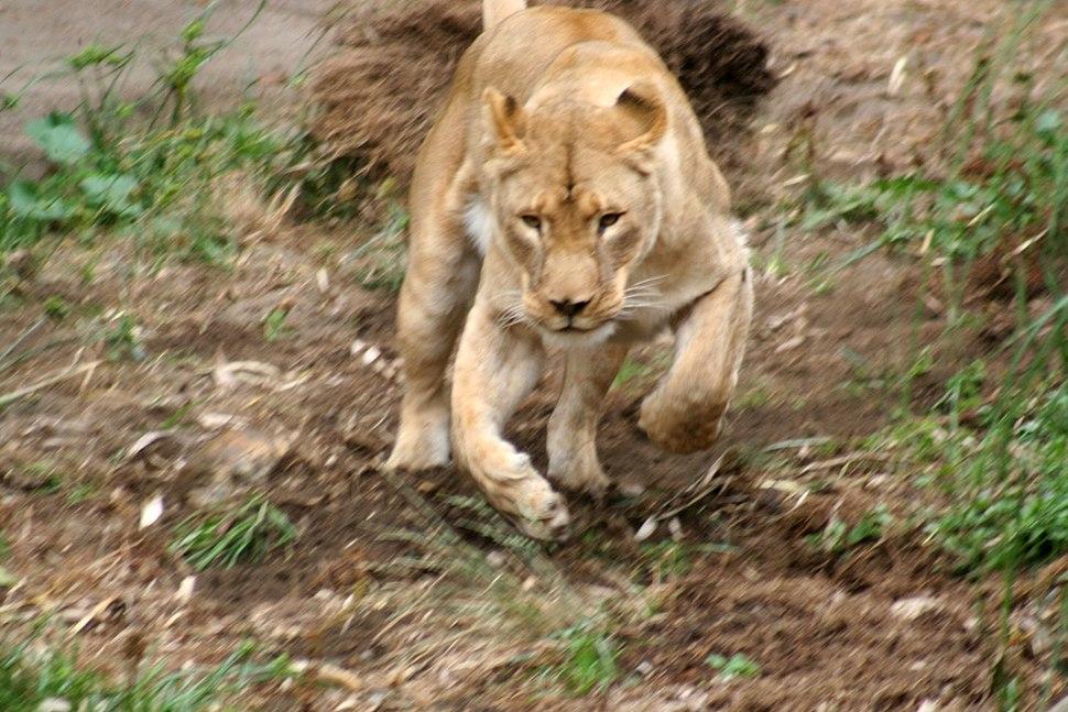 Hunting liones