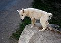 Husky Puppy! (3978344097).jpg